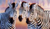 Big zebra heads (NPI 0139)