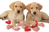 Two Labradors and hearts (DP449)