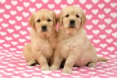 Two Retriever Pups on heart background (DP451)