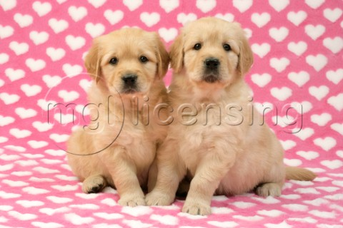 Two Retriever Pups on heart background DP451
