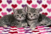 Pair of kittens on hearts (CK306)