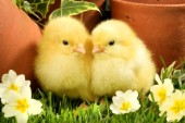 Easter chicks by flowers (EA519)