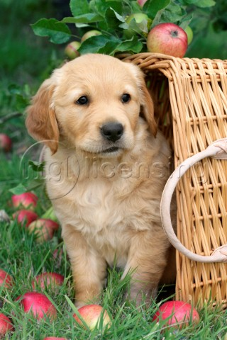 Retriever in basket DP548