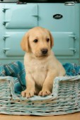 Labrador pup by blue Aga cooker (DP445)