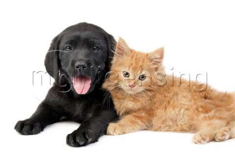 Black puppy and ginger kitten DP724