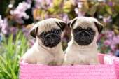 Two pug puppies (DP745)