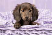Fluffy Dachshund Pup in Purple DP811
