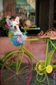 French bulldog in bike basket
