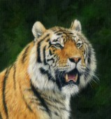 Mature Amur Tiger