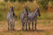 Three Zebras Namibia