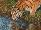 tiger drinking from pond