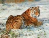 Amur Tiger | laying in snow. Oil on canvas.