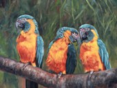 Three Blue Throated Macaws, oil on canvas by David Stribbling.