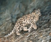 Snow leopard climbing rocky slope. Oil on canvas by David Stribbling.