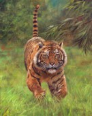 Sumatran Tiger Running