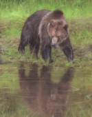 Grizzly Bear at Waters Edge