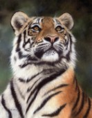 Amur Tiger Looking Up