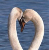 Pair of mute swans embracing against a blue water background