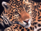 Detailed oil painting of a jaguar close up, laying and intensely staring ahead