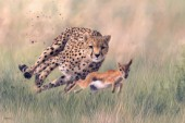 Cheetah and baby gazelle