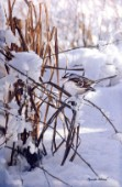 white crowned sparrow cps211