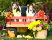 Shetland Sheepdogs on the Wagon