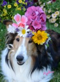 0578-Flowers on Bebe Sheltie Dog