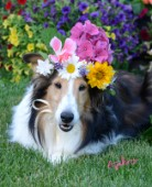 0604-Flowers on Bebe Sheltie Dog