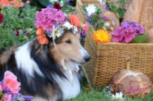 0592-Flowers on Bill Sheltie Dog