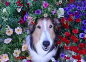 1156-Petunias surrounding Bebe Sheltie Dog Face