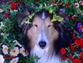 1188-Petunias surrounding Bill Sheltie Dog Face