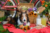 1682-Red Bicycle-Picnic with  Sheltie dog