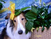 8534S-Yellow Hibiscus on Bebe-Sheltie Dog