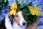 8546S-Yellow Hibiscus on Bebe-Sheltie Dog