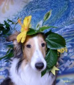 8550S-Yellow Hibiscus on Bebe-Sheltie Dog
