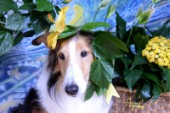 8554S-Yellow Hibiscus on Bebe-Sheltie Dog